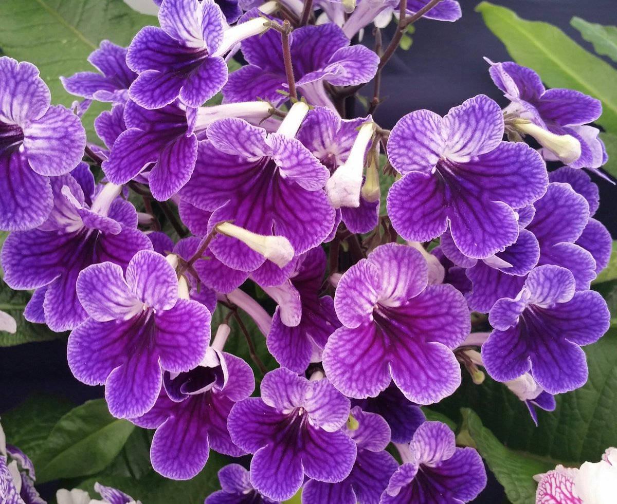 Пышное цветение стрептокарпуса сильвия