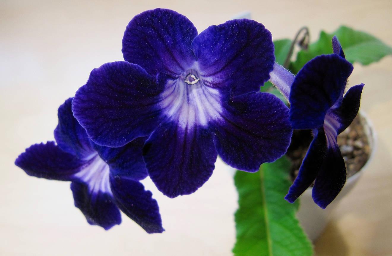 Темно синие цветы стрептокарпуса