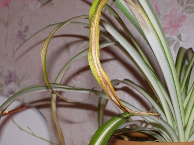 Сухие желтые листья хлорофитума