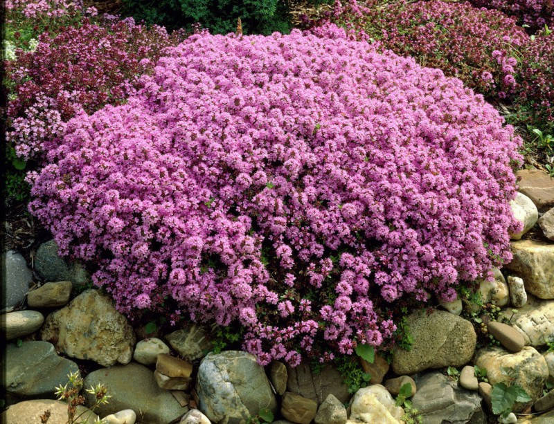 Цветущий тимьян колхида среди камней в саду