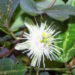 Маленький цветок трехполосой пассифлоры