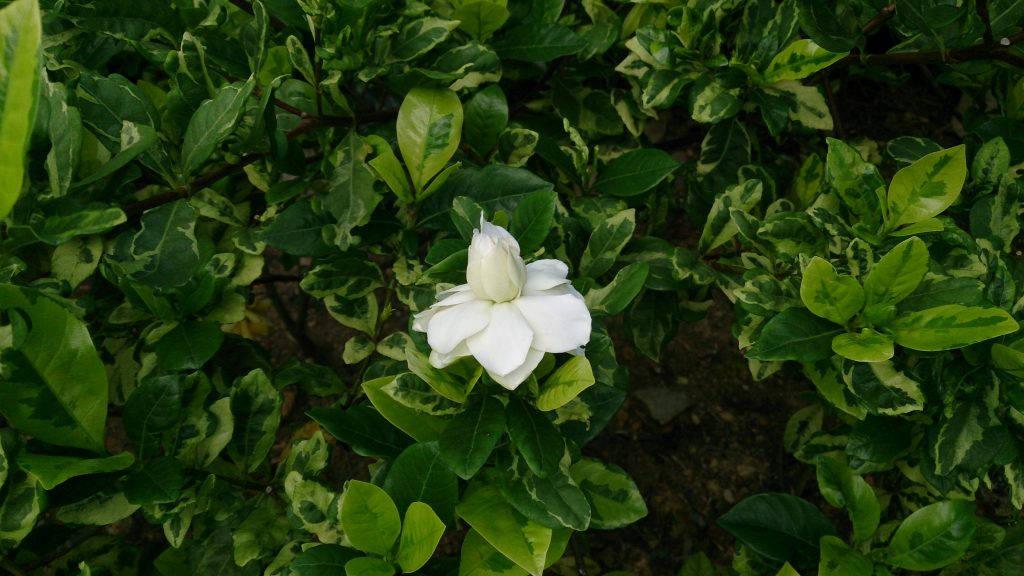 Вариегатная гардения в цветении