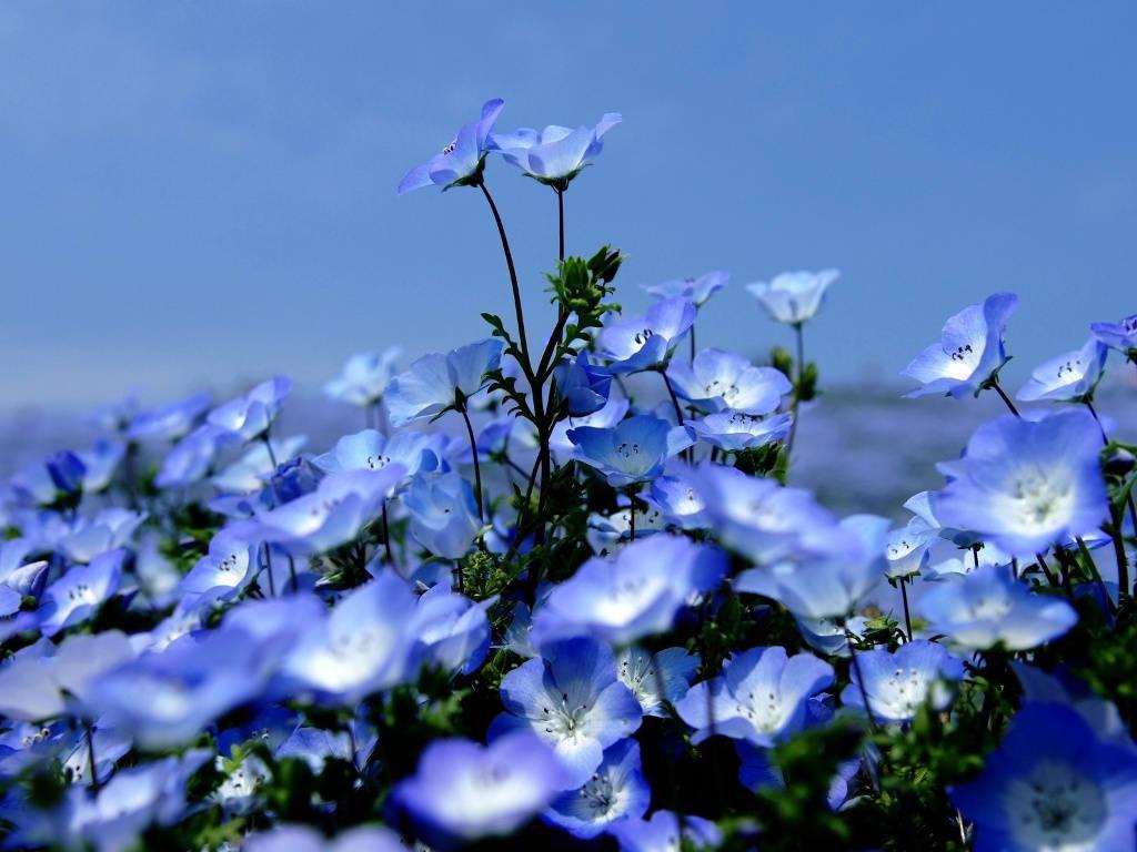 Цветы вероники садовой