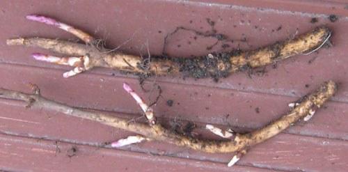 Размножение хмеля черенками