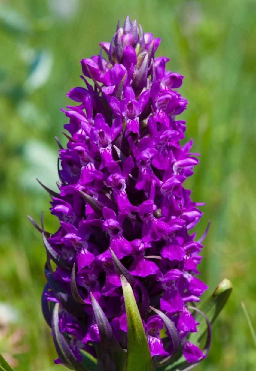 Соцветие ятрышника шлемноносого фиолетовое