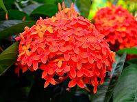 Красно-оранжевые цветы яванской иксоры