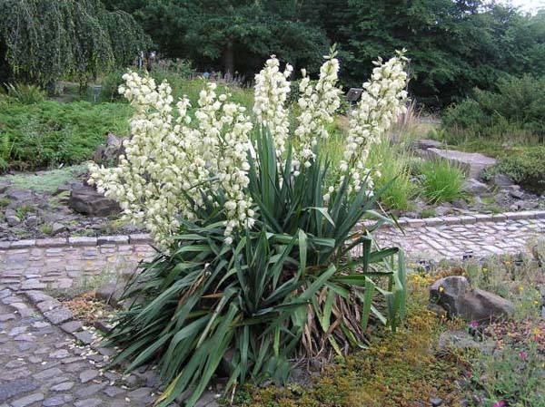 Куст цветущей сизой юкки