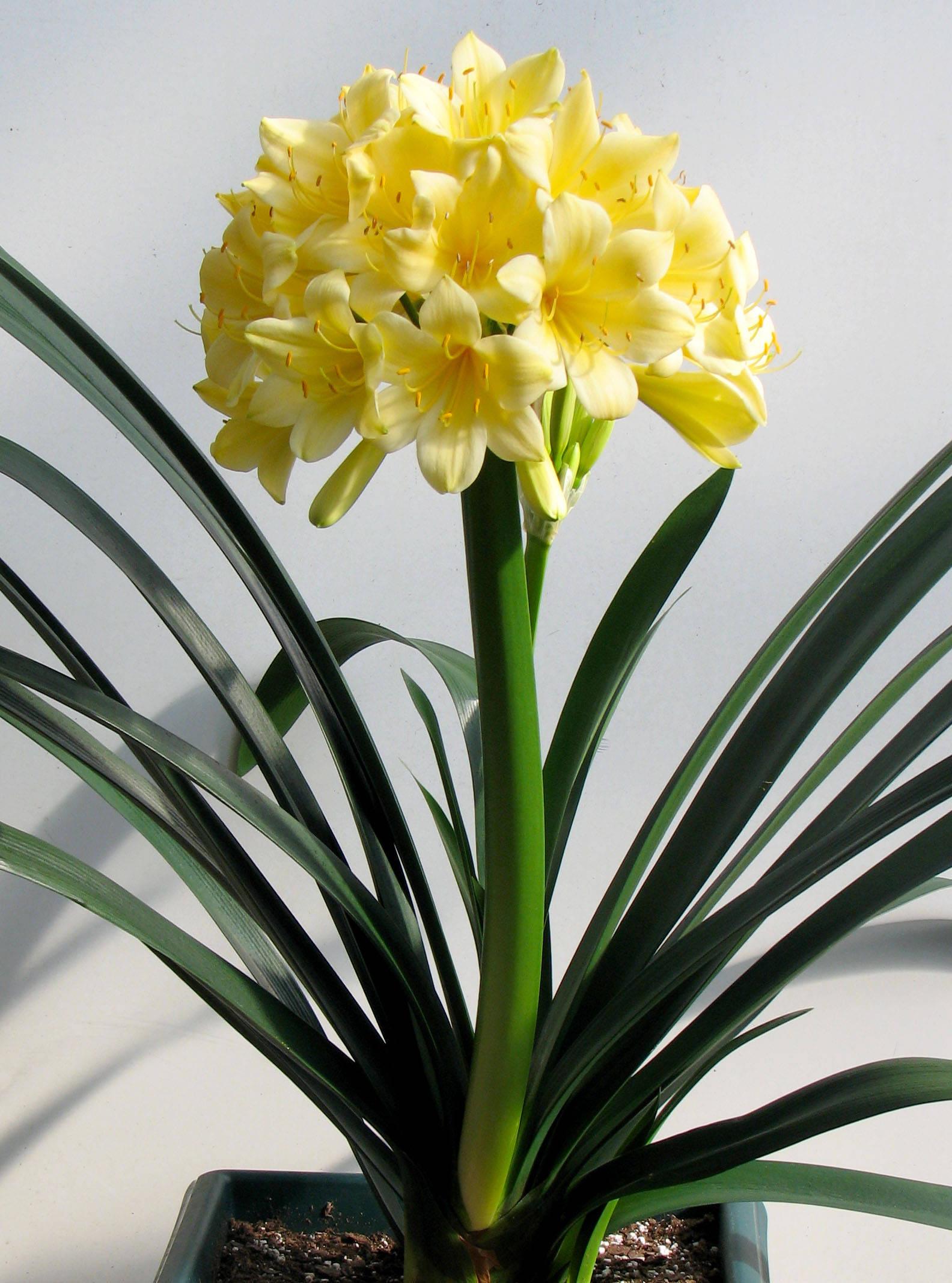 Цветение желтой кливии