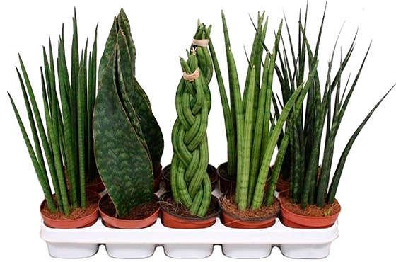Растения для озелениня офиса