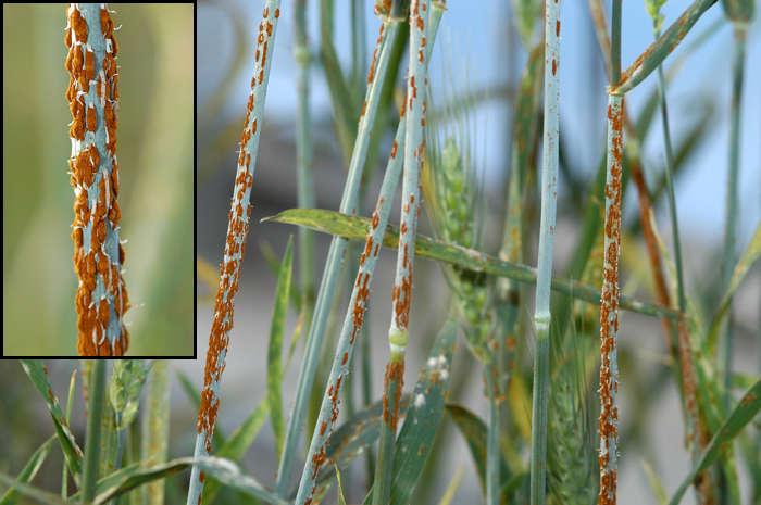 ржавчина на зерновых культурах