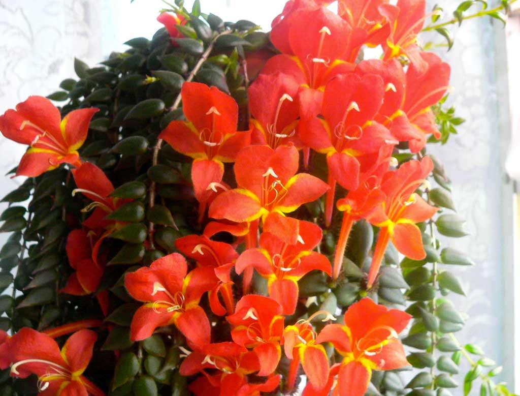 Цветок Колумнея банкса: фото, уход в домашних условиях