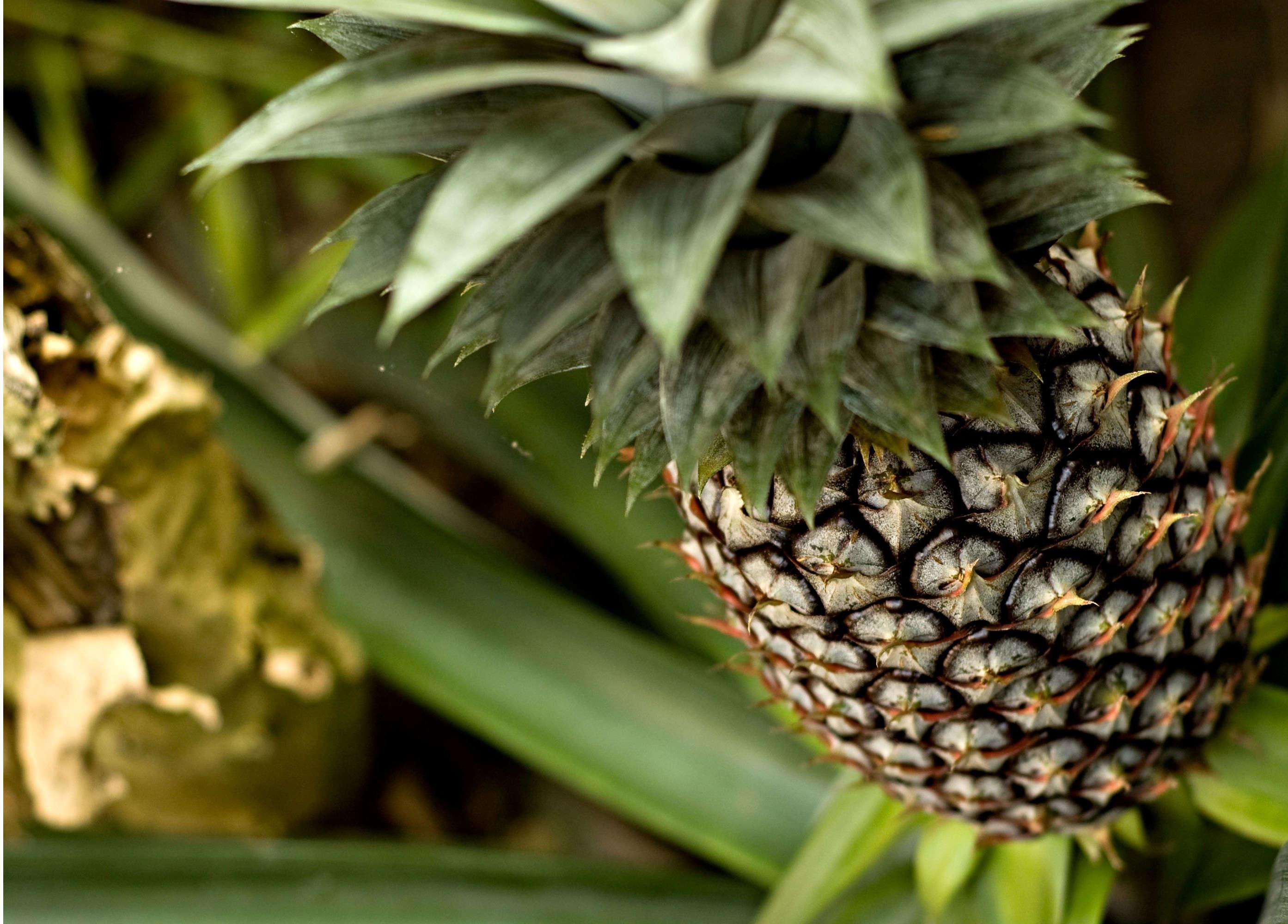 Как посадить и вырастить ананас в домашних условиях