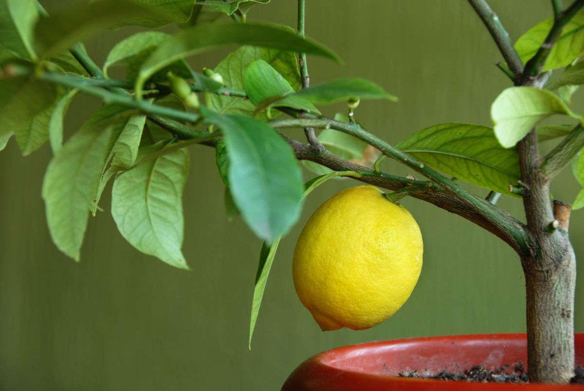 Лимондомашний
