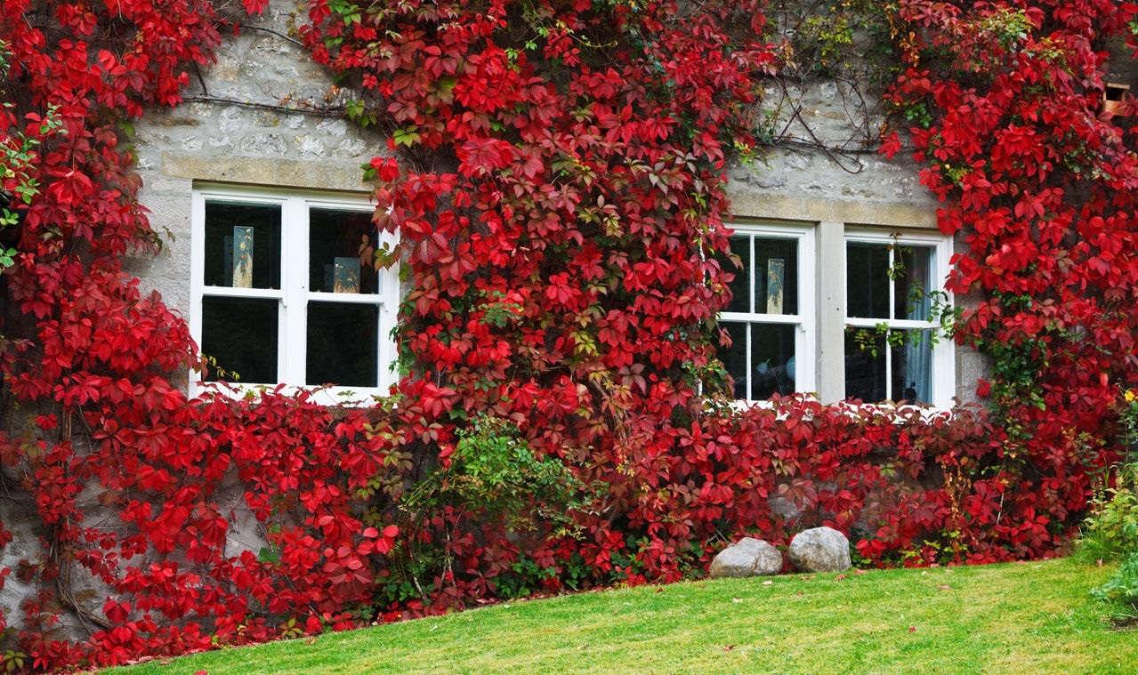 Вьющиеся растения для украшения двора и сада