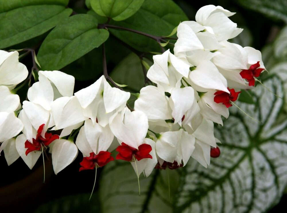 Ампельный цветок Клеродендрум