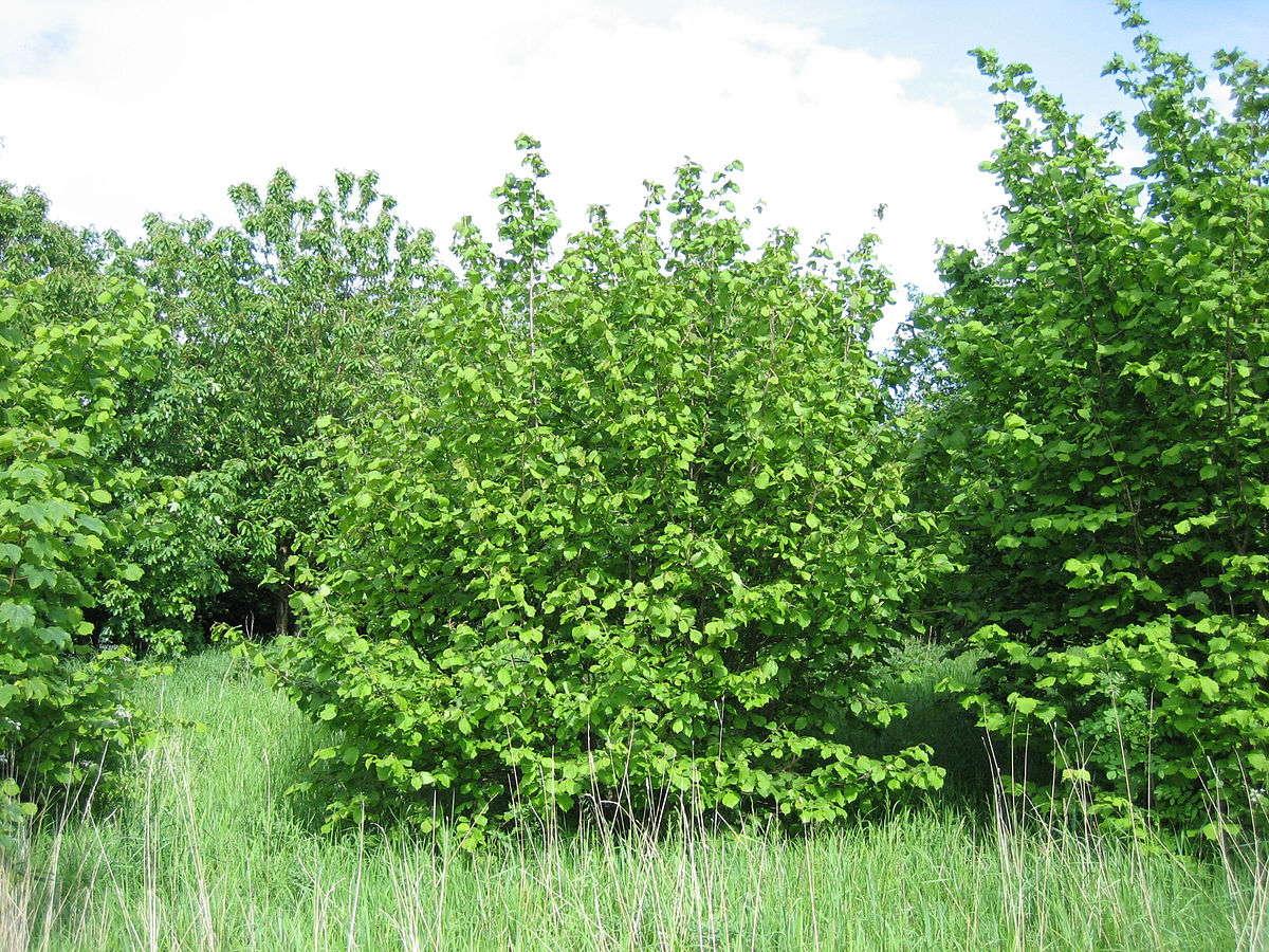 Дерево Лещина