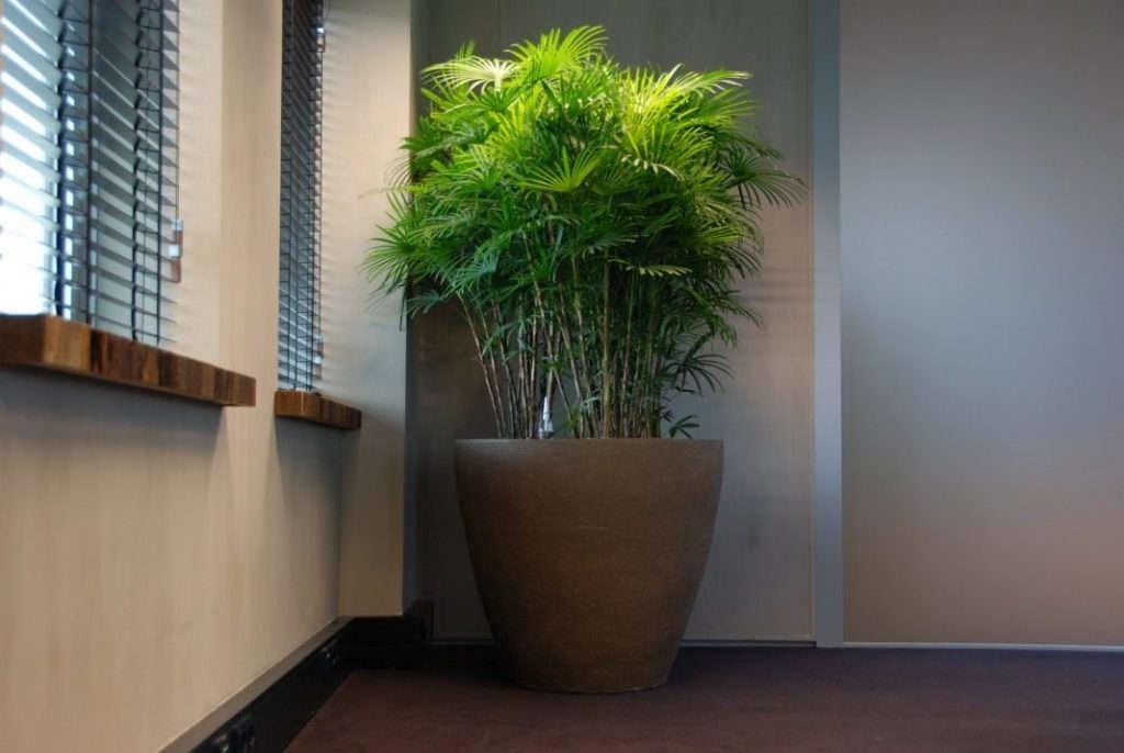 Домашняя пальма рапис