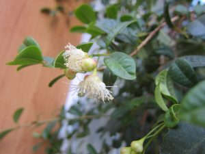 Евгения растение
