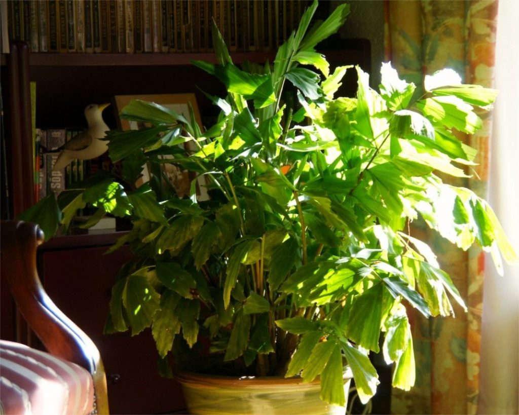 Пальма Кариота для дома