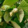 Растение орешник