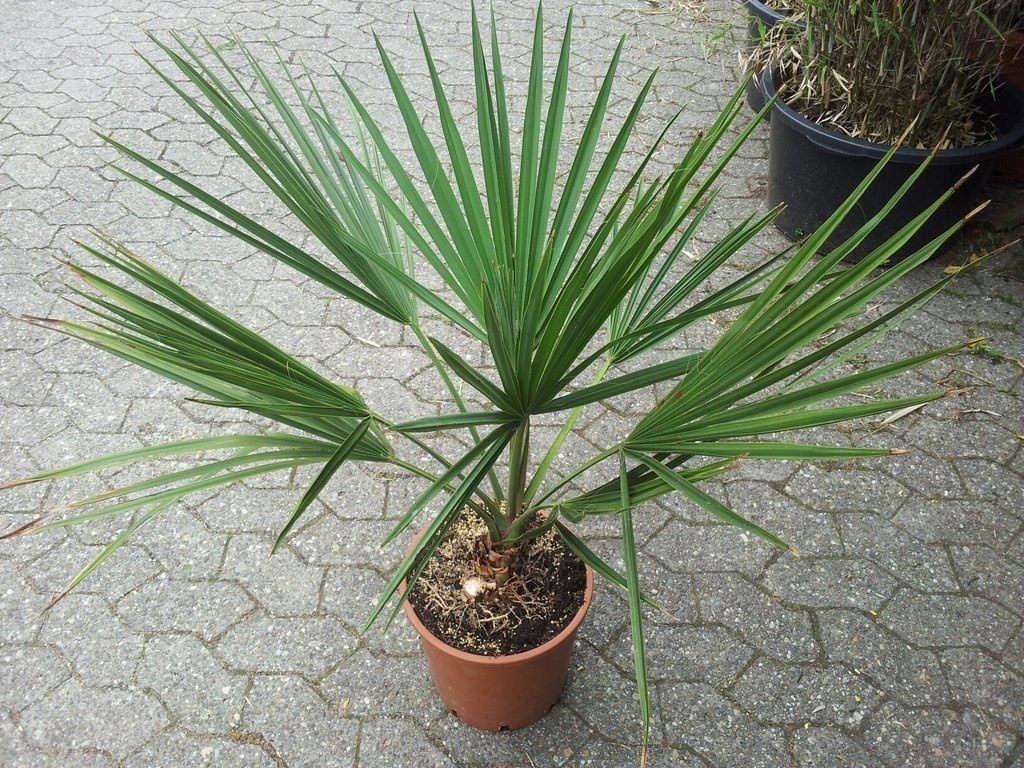 Сабаль домашняя пальма