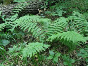 Щитовник в лесу