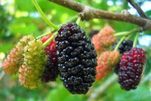 Шелковица ягоды