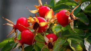 Шиповник ягоды
