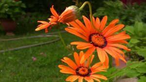 Цветок Урсиния