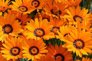 Урсиния цветок