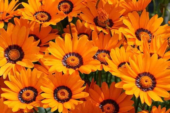 как выглядит цветок урсиния посмотреть фото смешной