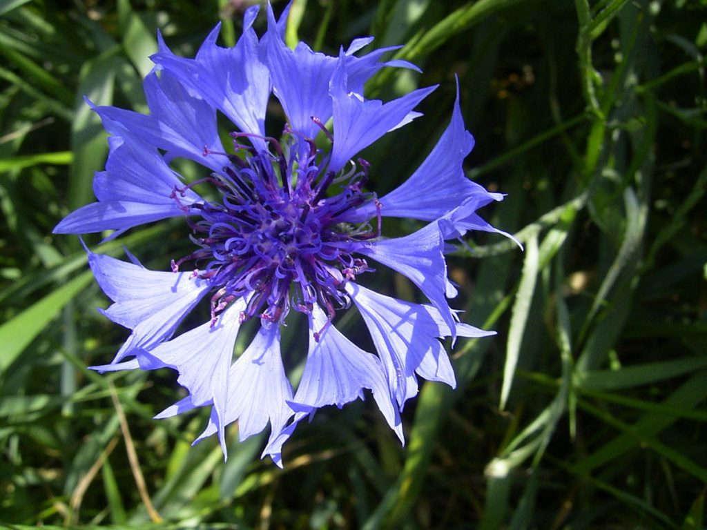 Виды луговых и полевых цветков