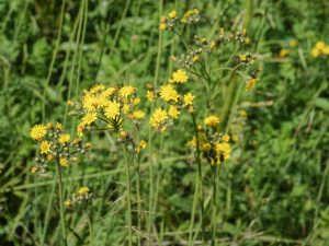Ястребинка цвет