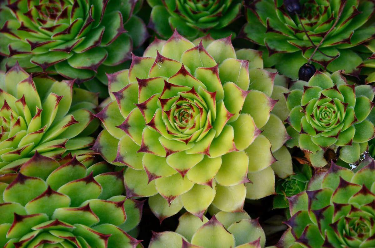 раскладку молодило фото цветы этой статье
