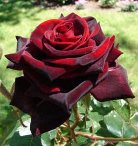 Как определить свежесть розы