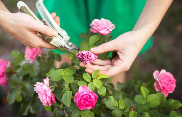 Как правильно обрезать садовую розу
