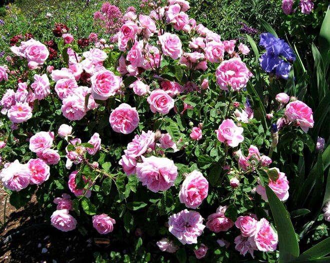 ремонтатные розы