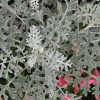 Особенности серебристого цветка