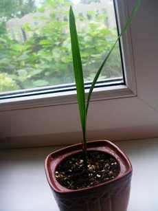 Отросток Финиковой пальмы