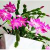 Цветок Шлюмбергера