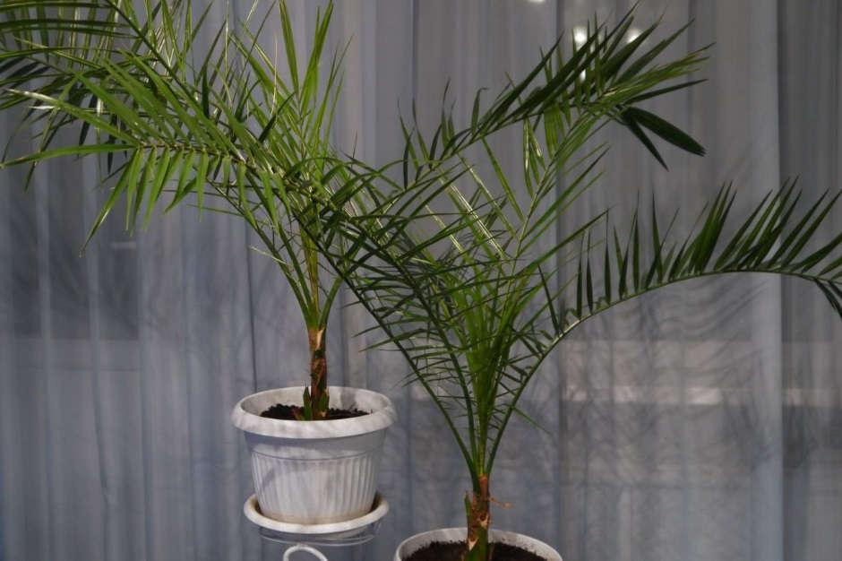 Домашняя Финиковая пальма