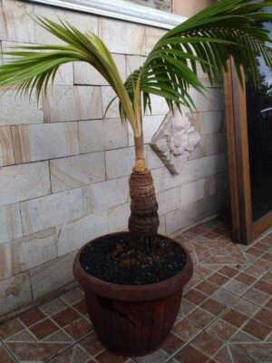Домашняя кокосовая пальма