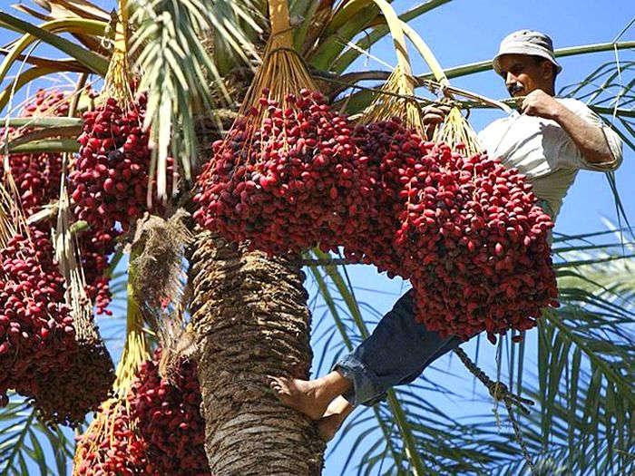 Финиковая пальма — выращивание в домашних условиях из косточки