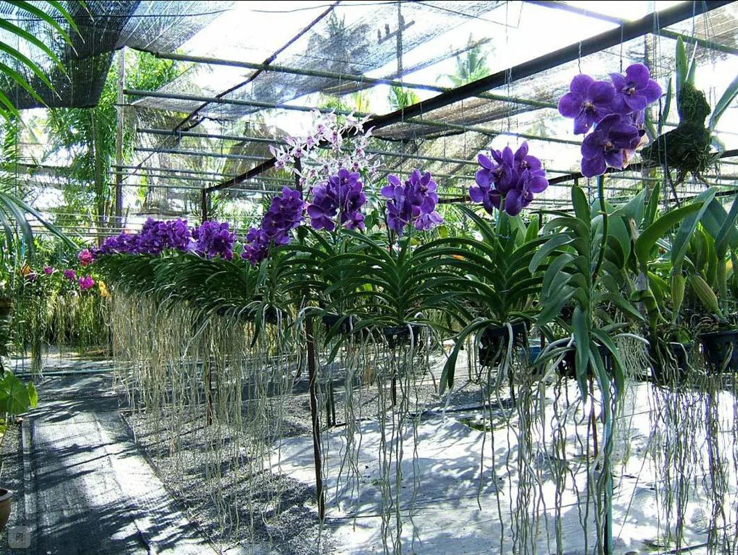 Выращивание орхидеи Ванда