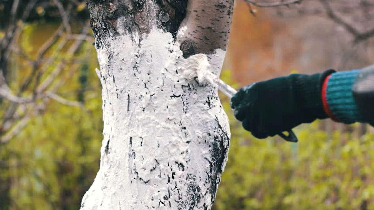 Как красить деревья побелкой