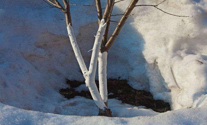 Как правильно белить деревья?