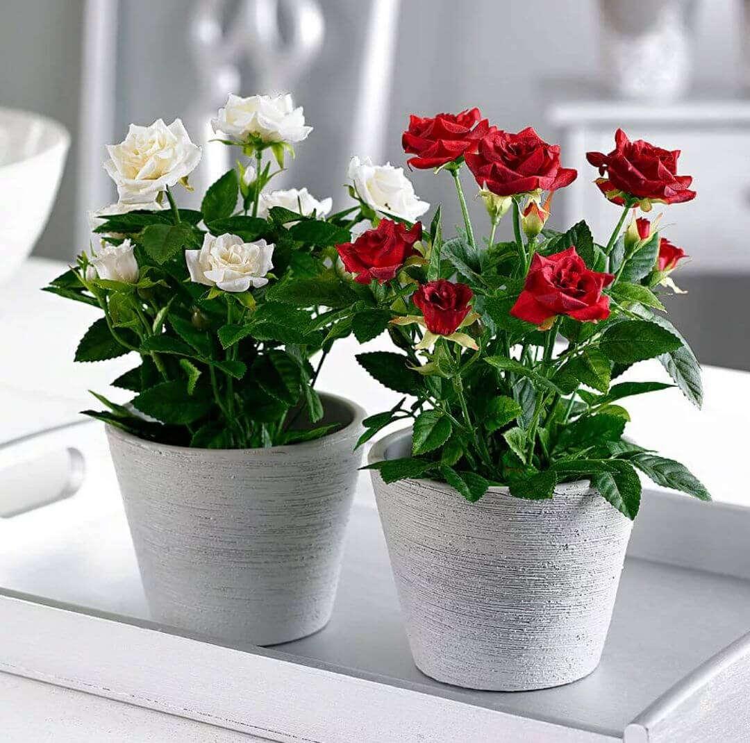 Роза Кордана – как правильно ухаживать за цветком после покупки?