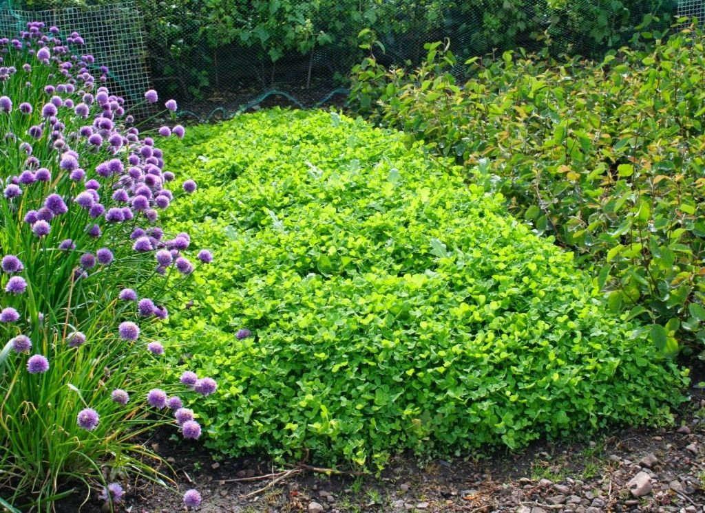 Сидераты для растений