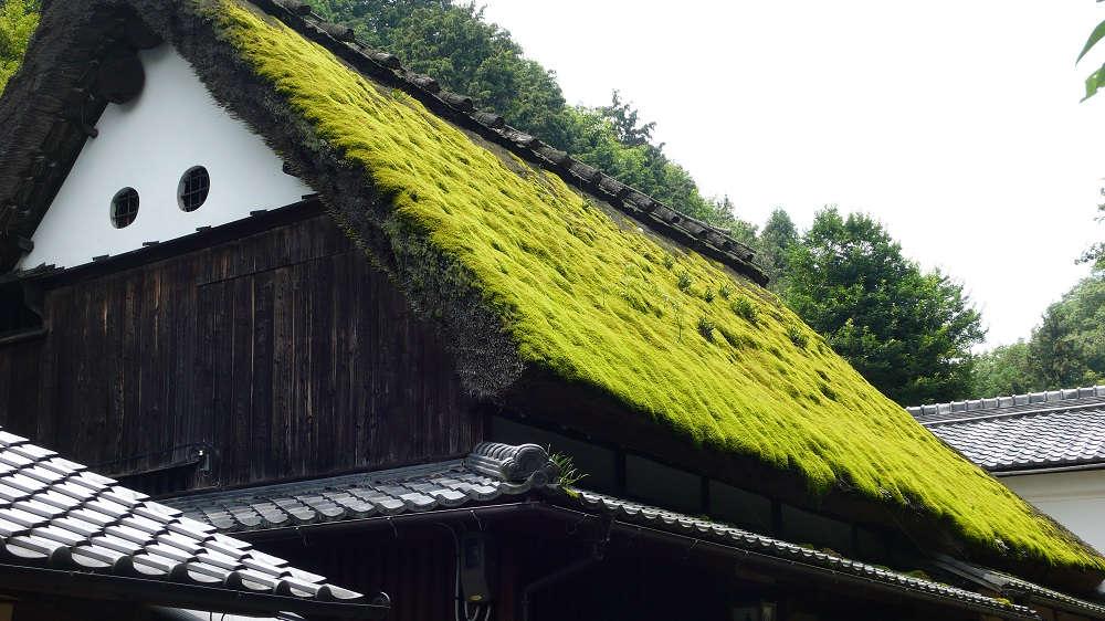 Мшанка шиловидная на крыше