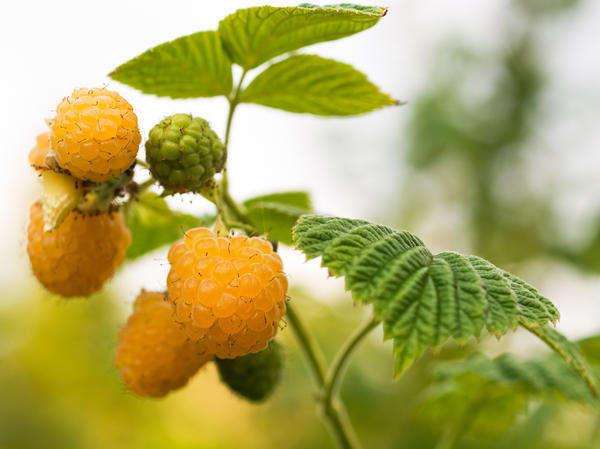 оранжевая малина
